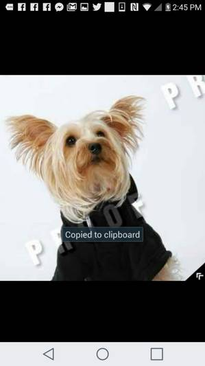 Safe Yorkshire Terrier in Bridgeport, CT US