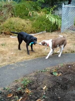 Safe American Staffordshire Terrier in Ocean Park, WA US
