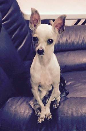 Lost Chihuahua in San Francisco, CA US