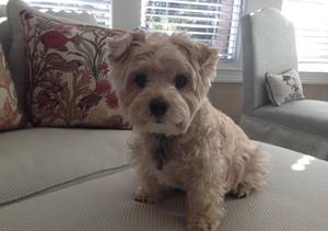 Lost Yorkshire Terrier in Cincinnati, OH US