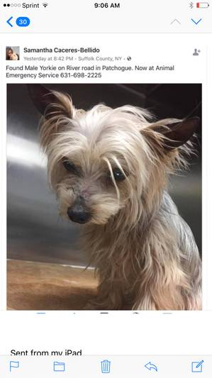 Safe Yorkshire Terrier in Patchogue, NY US