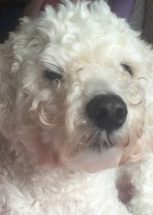 Lost Poodle in Egg Harbor Township, NJ US