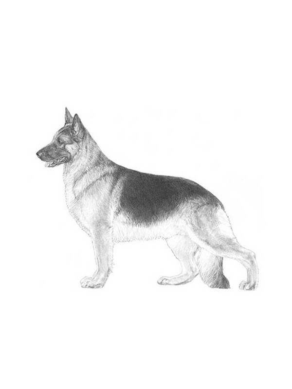 Lost German Shepherd Dog in Angola, NY US