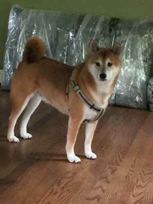 Lost Shiba Inu in Suitland, MD US