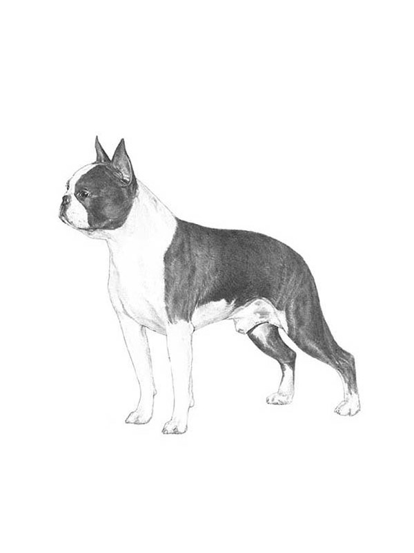 Safe Boston Terrier in Paso Robles, CA US