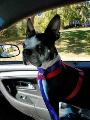 Found Boston Terrier in Blue Bell, PA US