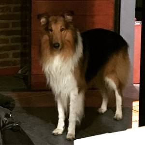 Stolen Collie in Orlando, FL US