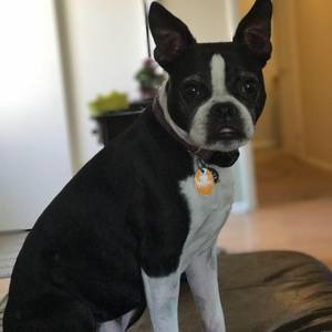 Safe Boston Terrier in Virginia Beach, VA US