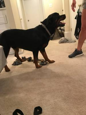 Found Rottweiler in Radford, VA US