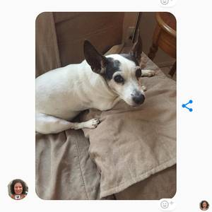Lost Jack Russell Terrier in Saint Petersburg, FL US