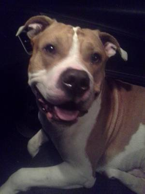 Found Pit Bull in Youngstown, OH US