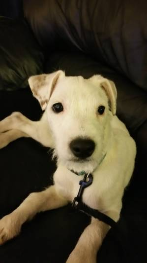Safe Jack Russell Terrier in Arlington Heights, IL US