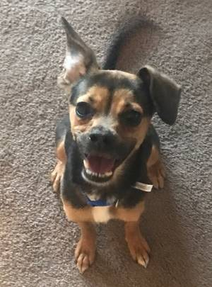 Found Chihuahua in Lancaster, CA US