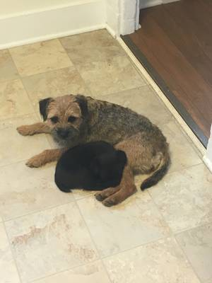 Safe Border Terrier in Reisterstown, MD US