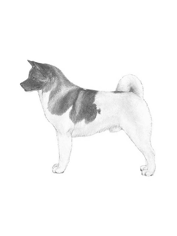 Lost Akita in Doylestown, PA US