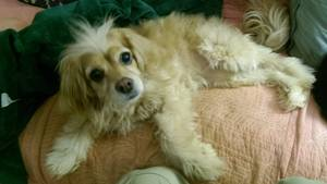 Lost Cocker Spaniel in Boones Mill, VA US