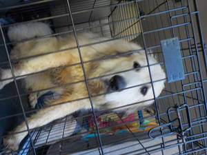 Safe Great Pyrenees in Bonifay, FL US