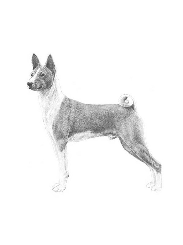Lost Basenji in Port Deposit, MD US