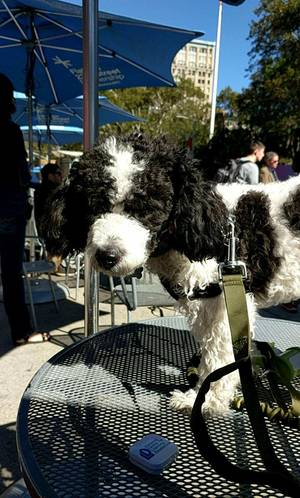 Lost Poodle in Union, NJ US