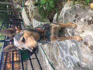 Safe Australian Cattle Dog in Brooklyn, NY US