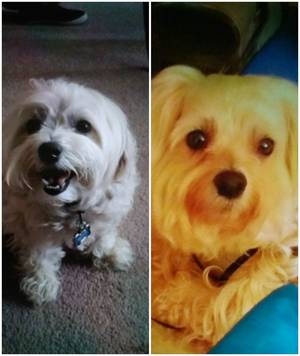 Safe Maltese in Clementon, NJ US