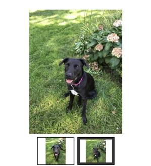 Lost Labrador Retriever in West Orange, NJ US