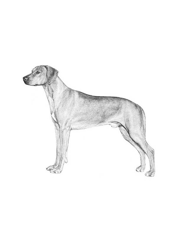 Lost Rhodesian Ridgeback in Washington, DC US