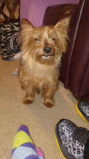 Found Yorkshire Terrier in Elkins Park, PA US