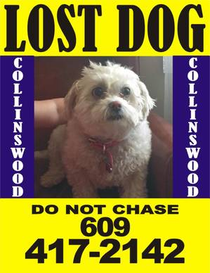 Lost Lhasa Apso in Collingswood, NJ US