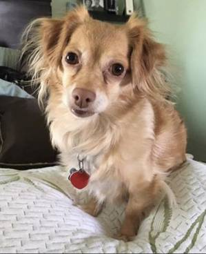 Stolen Chihuahua in Lawndale, CA US