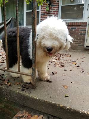 Lost Old English Sheepdog in Woodstown, NJ US