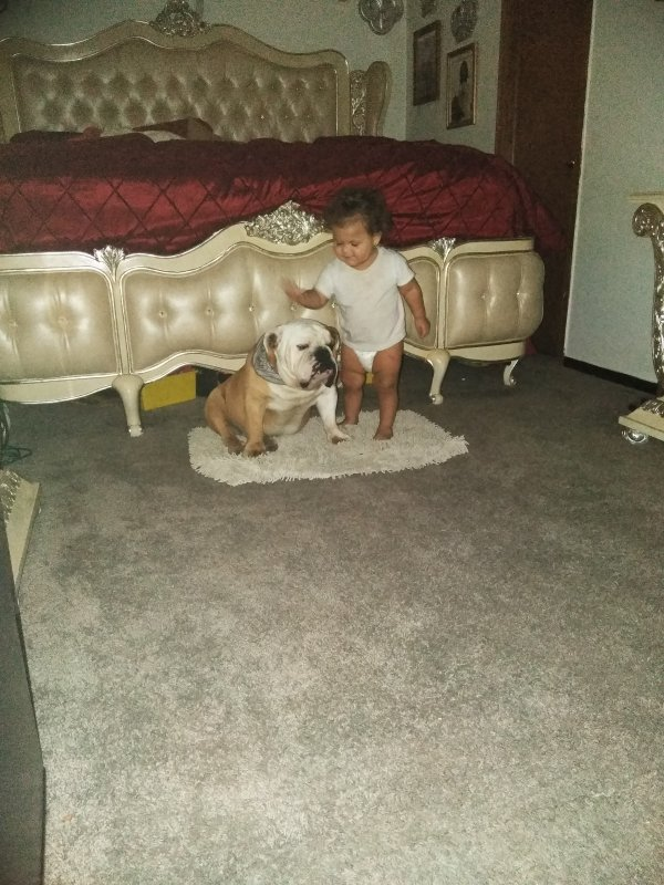 Safe English Bulldog in Wichita, KS US