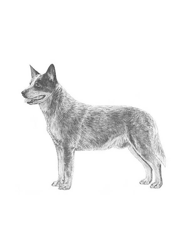 Lost Australian Cattle Dog in Oakdale, PA US