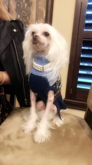 Lost Chinese Crested in Dade City, FL US