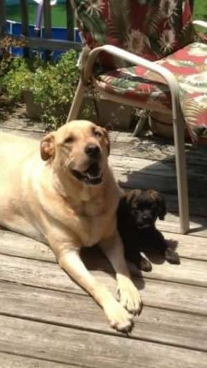 Lost Labrador Retriever in District Heights, MD US