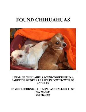 Found Chihuahua in Los Angeles, CA US