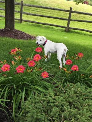 Lost Jack Russell Terrier in Pittsford, NY US