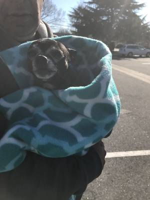 Found Chihuahua in Hampton, VA US