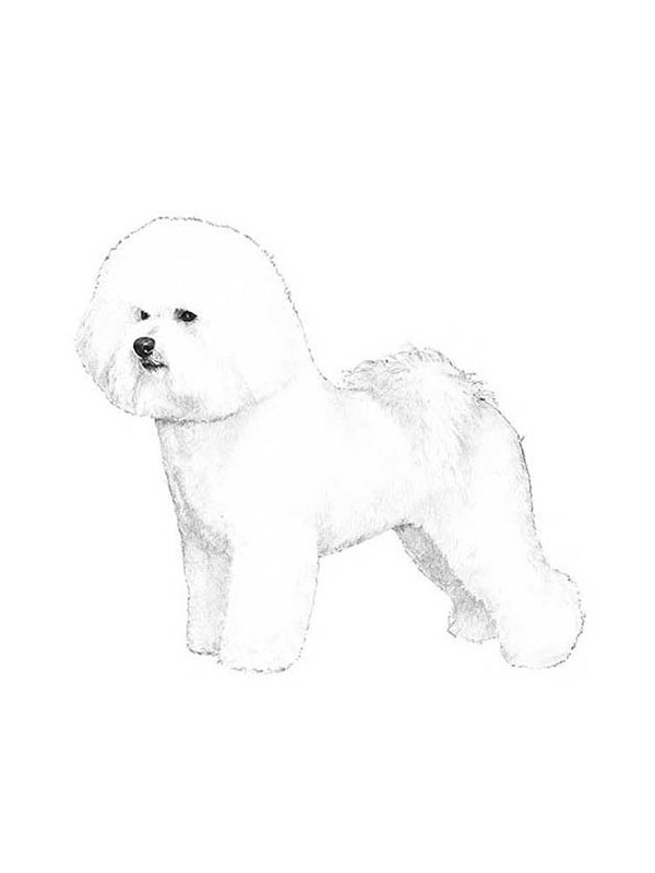 Lost Bichon Frise in Lorton, VA US