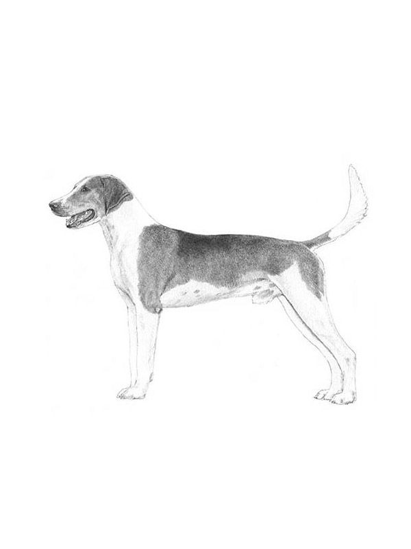 Lost American Foxhound in Kennett Square, PA US