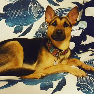 Safe German Shepherd Dog in Clearwater Beach, FL US