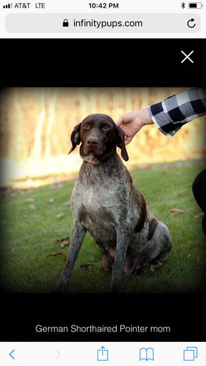 Found German Shorthaired Pointer in Paradise, PA US