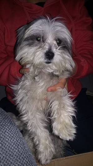 Found Lhasa Apso in Colton, CA US