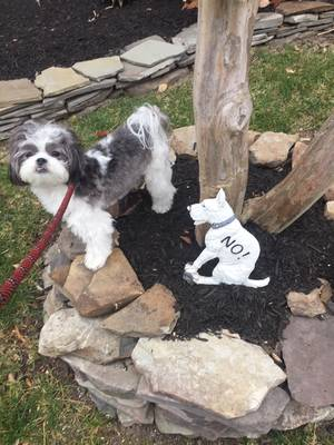 Lost Shih Tzu in Brooklyn, NY US