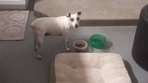 Found Jack Russell Terrier in Palm Harbor, FL US
