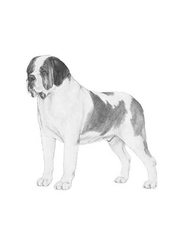 Lost St. Bernard in Cochranton, PA US