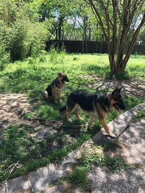 Lost German Shepherd Dog in Houston, TX US