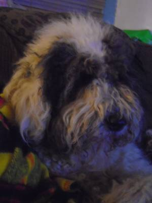 Safe Old English Sheepdog in Pottstown, PA US