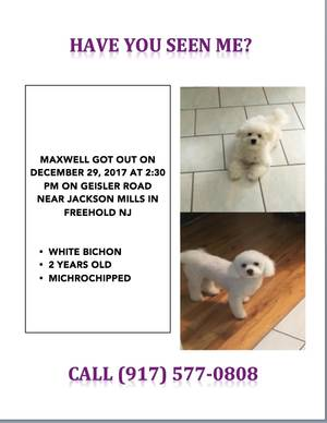 Lost Bichon Frise in Freehold, NJ US