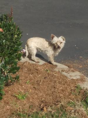 Found Maltese in West Covina, CA US